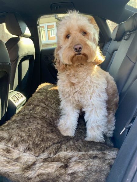 dog on pet bed in a car