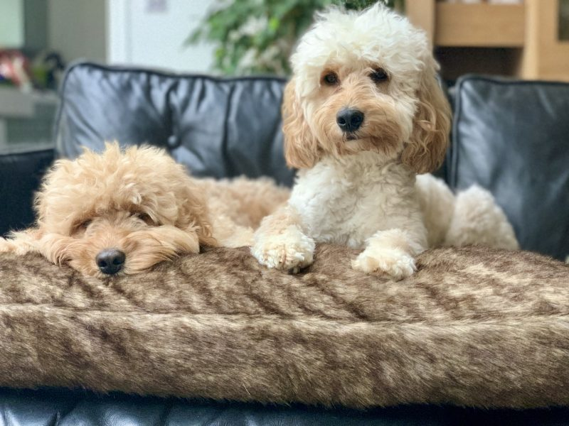 dogs on pet bed on the sofa